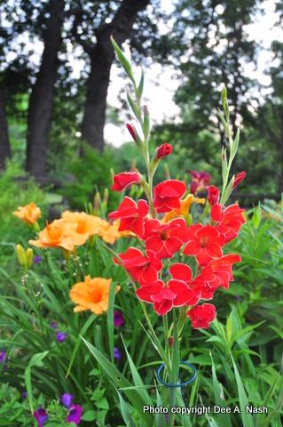Gladiolus 'Atomic'  Hemerocallis 'Mauna Loa'