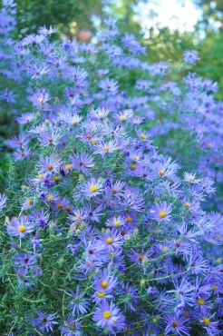 Symphyotrichum oblongifolium 'October Skies' I took this phot in partial shade, but did nothing to enhance it.
