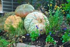 Three gorgeous pumpkins with violas all around them.