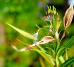 Asclepias incarnata, swamp milkweed pod