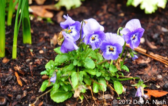Viola F1 'Rocky™ Violet Blue, pretty thing isn't it?