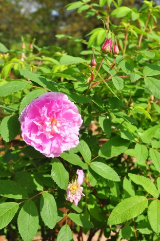 Rosa rugosa 'Therese Bugnet' only blooms once in spring in my garden, but she is pretty and smells delicious.