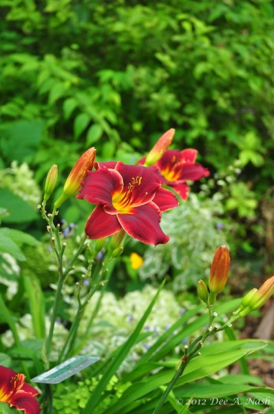 Hemerocallis 'Pocket Change' (Crochet 1985) is a small red I grow in partial shade. I do this because it's an earlier red, and its substance won't hold up in our harsh sun. Photo by Dee Nash