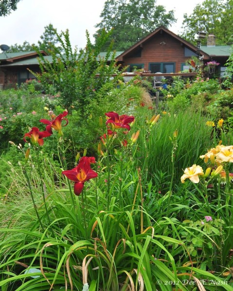 Hemerocallis 'Red Volunteer' with H. 'Victorian Lace'