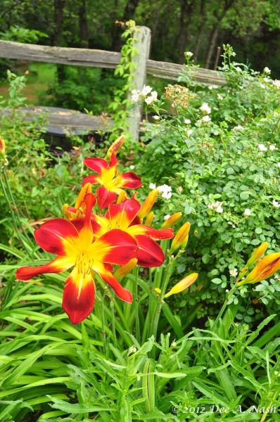Hemerocallis 'Ruby Spider' with Rosa 'Cliffs of Dover' behind.