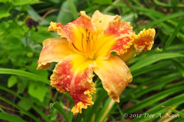 Hemerocallis 'Wild Child' (Salter 2002) has a little thrip damage, but the thrips will move on, and the blooms will get better and better. This is a new daylily to the garden as of last year.