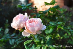 Although shrub roses are easy and beautiful, English roses like 'Heritage' are very charming when they bloom. What a beauty in the morning light.