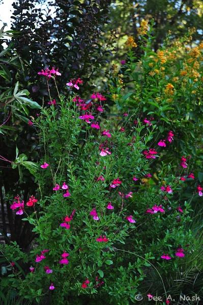 Favorite perennials. Salvia greggii 'Pink Preference'