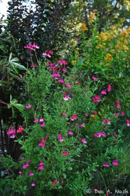 Favorite perennials. Salvia greggii 'Pink Preference'