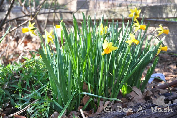 Narcissus 'Jetfire' in a lot of sun. It can be grown indoors too.
