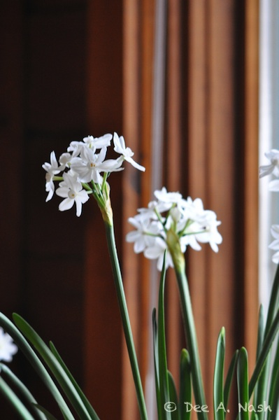 Paperwhites from a previous year.