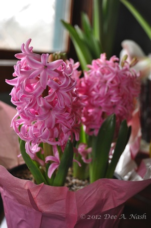 Pink hyacinths from the grocery store.
