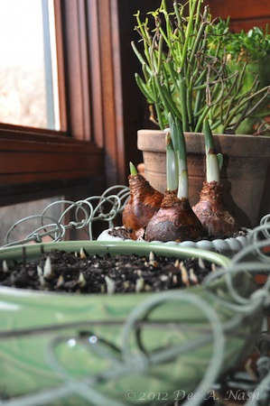 Crocus, paperwhites and succulents next to a wintry window. What could be nicer. Spring? Yes, but we must wait.