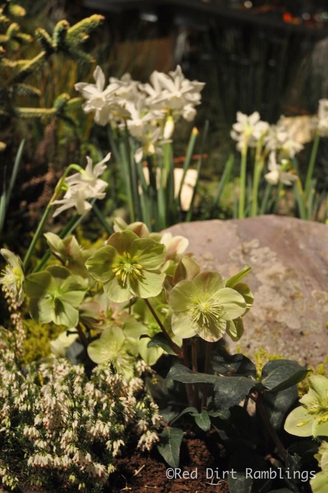 Hellebores and Thalia daffodils