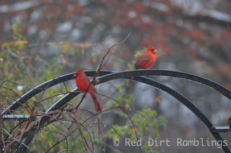 These male Cardinals will be fighting like crazy come spring, but for now peace reigns.
