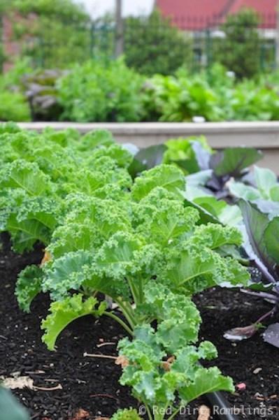 Winterbor kale in an early spring garden.