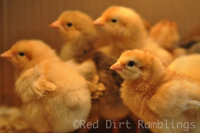 Baby chickens growing and growing.