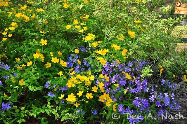 Purple Phlox divaricata with single flowering Japanese Kerria.