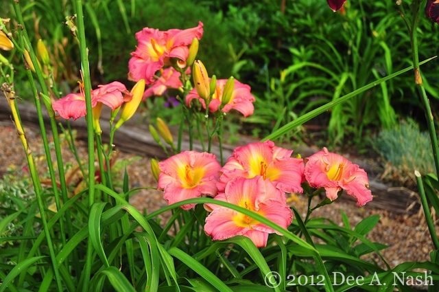 Hemerocallis 'South Sea Enchantment' is an older daylily, but old doesn't mean bad. It's a great one.