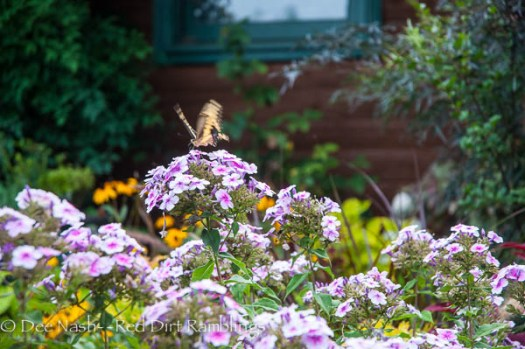 Swallowtail on 'Bright Eyes' Phlox paniculata