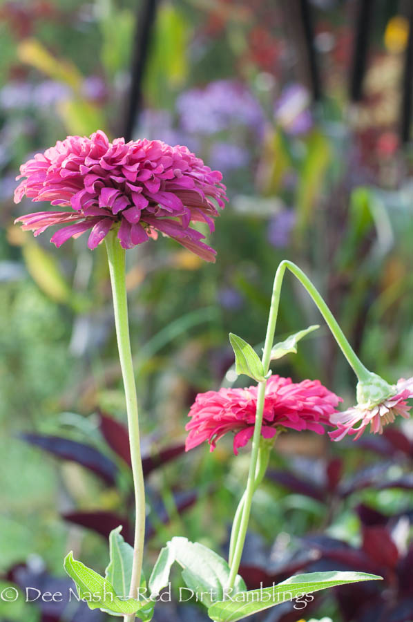 Zinnias. Part of the beauty in this shot is the zinnia bending its head. Sometimes weakness is strength.