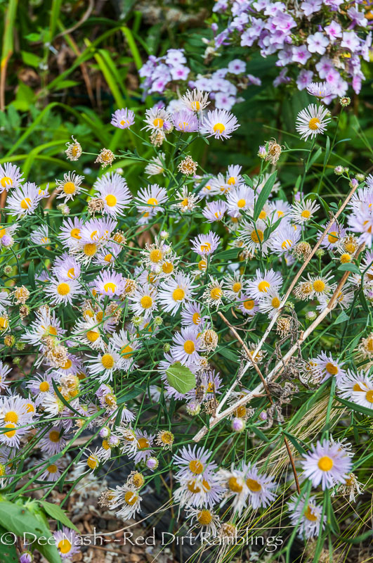 Boltonia asteroides 'Pink Beauty'