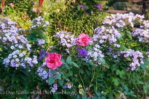 Rosa 'Frontier Twirl' with 'Bright Eyes' phlox and ironweed