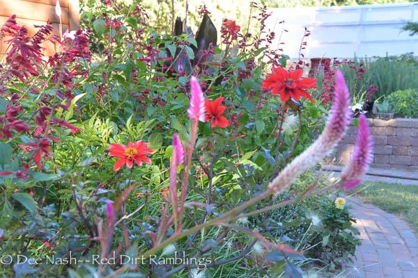 'Cramer's Amazon' celosia, Salvia vanhouttei, cannas and 'Bishop of Llandaff' dahlias make a fall garden sing.