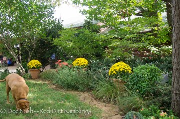 Three, two-gallon yellow mums with pansies brighten a dark corner in the front yard. The trees will turn soon, and it will be a riot of color.