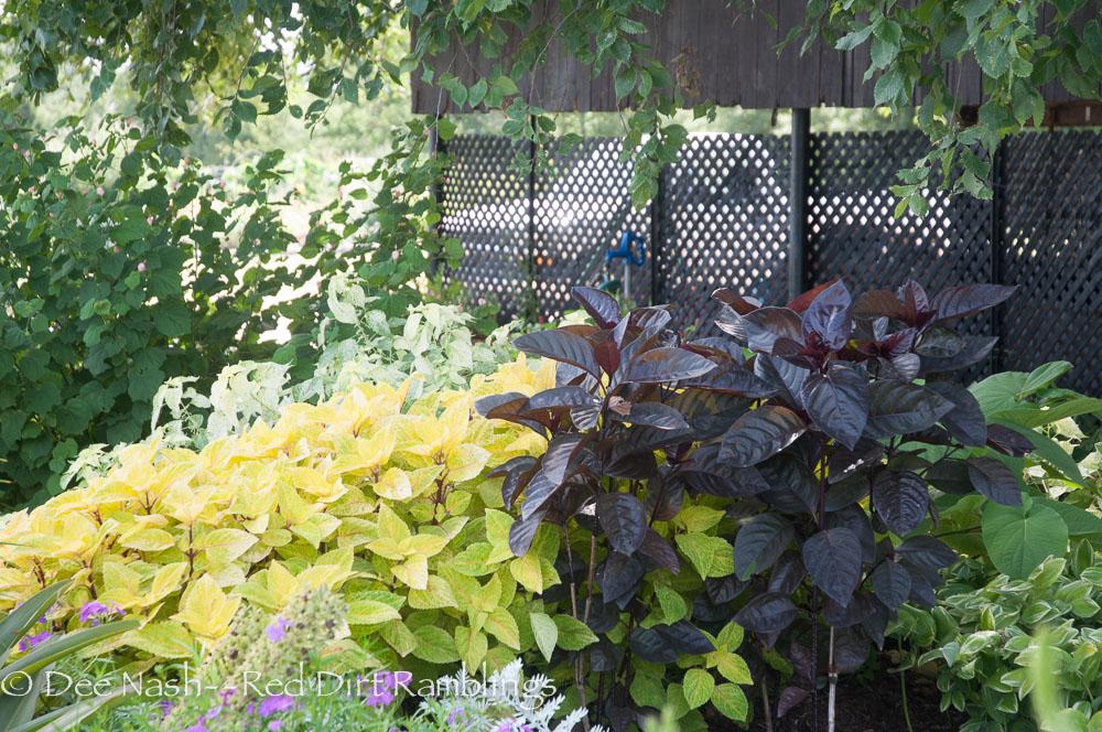 'Black Varnish' Pseuderanthemum with coleuse