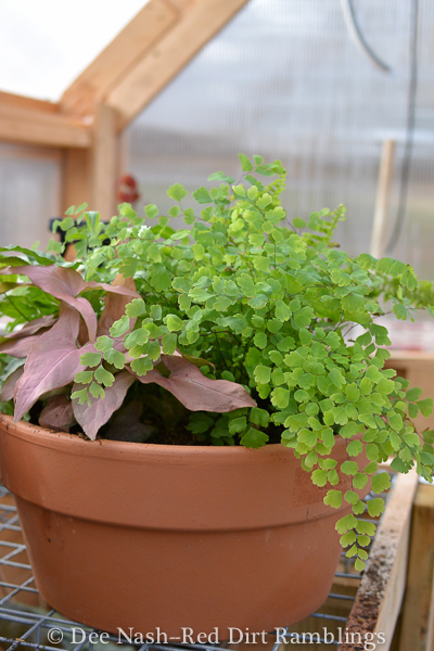 A mixed pot of ferns and sweet potato vine