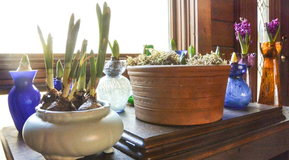 Garden bulbs being forced on the window sill.