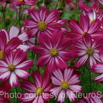 Cosmos bipinnatus 'Cosimo Purple Red White