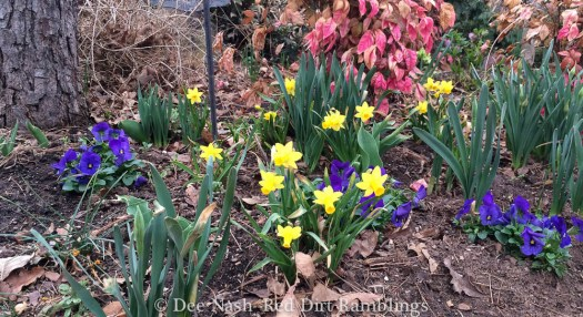 Narcissus 'Tete-a-tete' with small violas I planted yesterday.