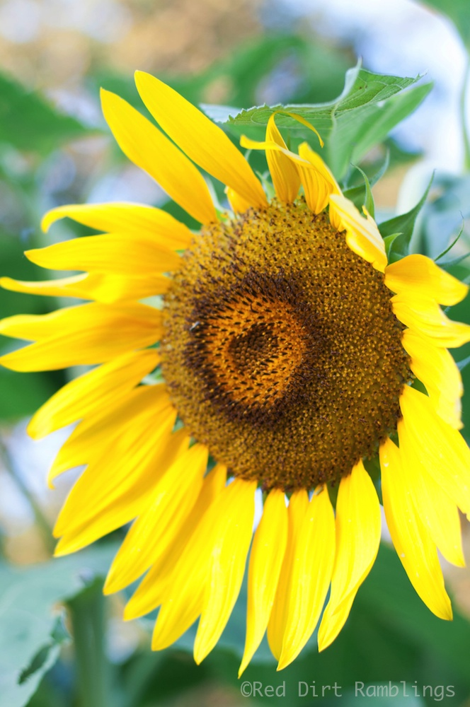 Is there anything prettier than a sunflower?