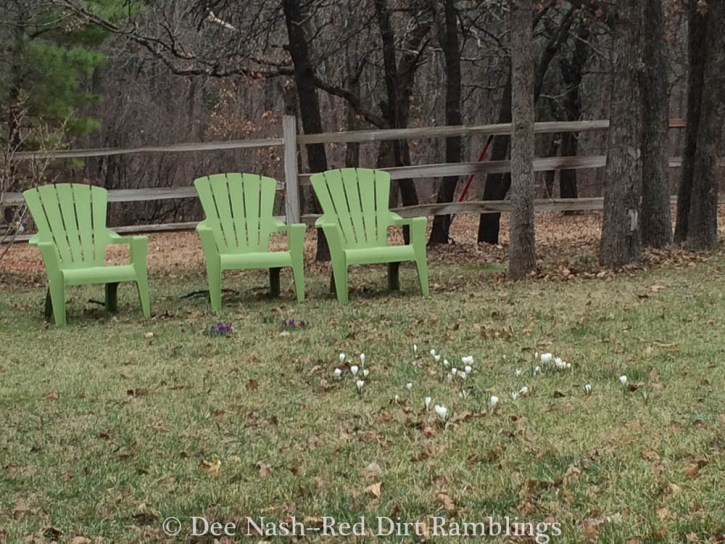 Here are the crocus in the yard with the green chairs.