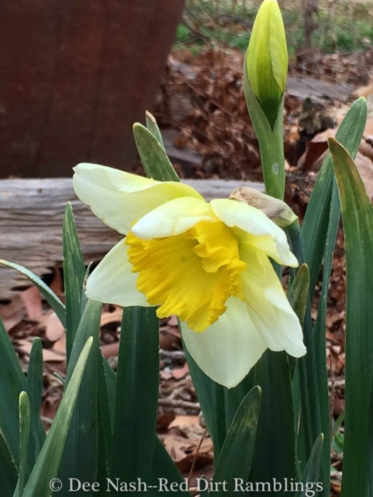 Another narcissus. I don't know the name.