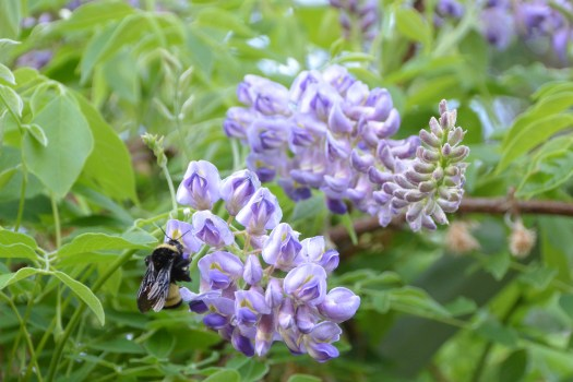 Bumblebees are many good reasons to plant American wisteria, Wisteria frutescens.