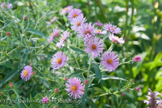 Boltonia asteroides 'Pink Beauty' is one of the prettiest native plants I grow.