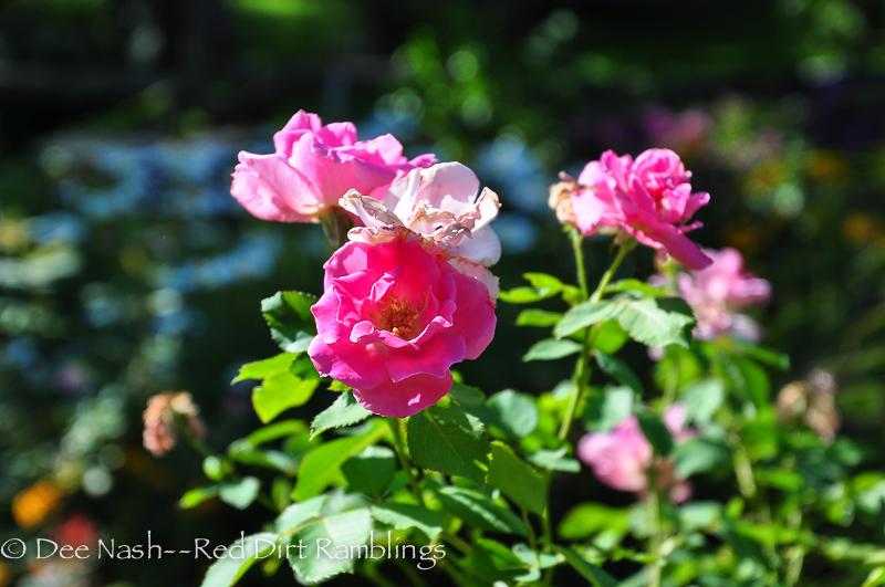 Rosa 'Carefree Beauty'