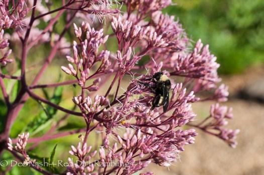 Eupatorium 'Little Joe' with bumblebee