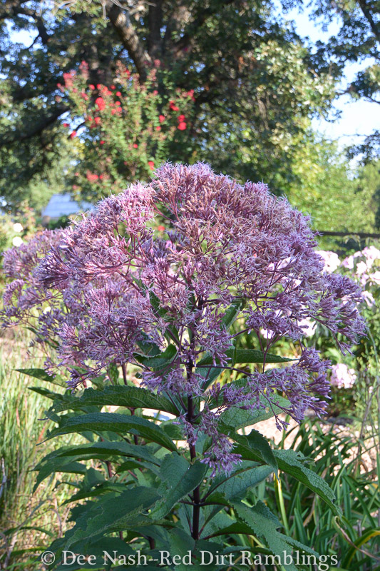 Eupatorium dubium 'Little Joe' is one fine pollinator plant, but I haven't seen very many pollinators this year.