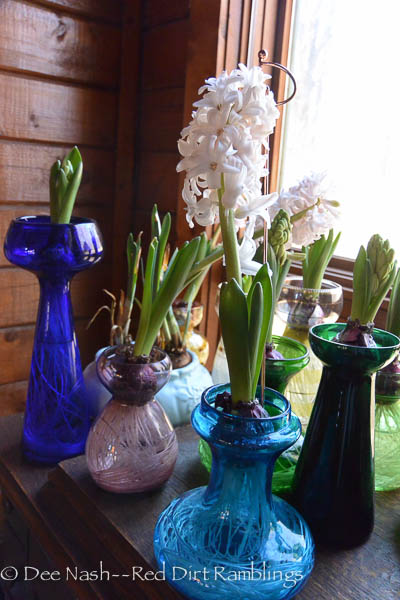 Forcing hyacinths on glass vases.