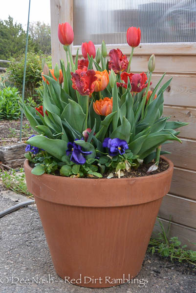 Tulips in terra cotta pot. 'Temple's Favourite', 'Rococo' and 'Orange Princess'