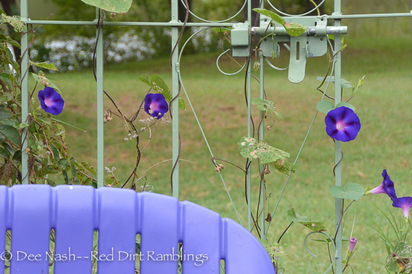 Ipomoea purpurea 'Grandpa Ott' morning glory clambers up a green arbor behind my purple chairs. Garden Bloggers Bloom Day September 2014