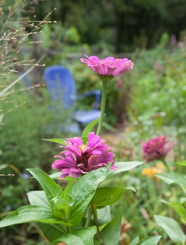 Zinnias with purple chairs.