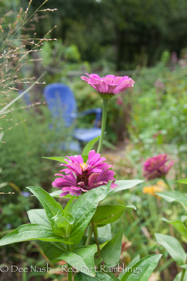 Zinnias are still flowering.