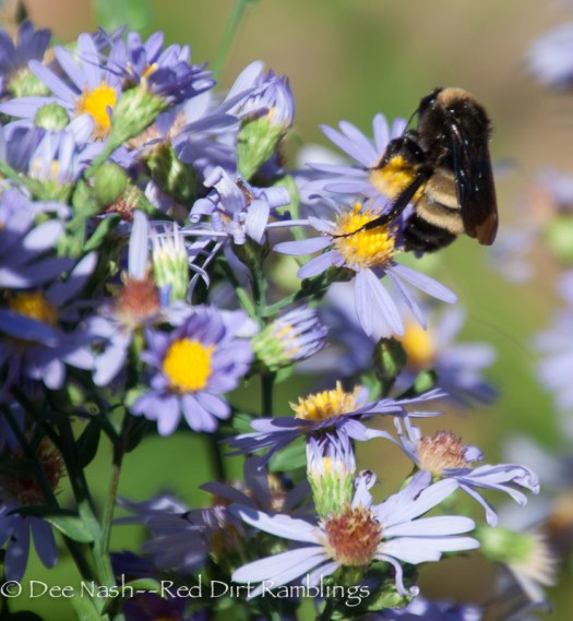 Fall-blooming flowers for pollinators. Bumblebee on Symphyotrichum laeve 'Bluebird.' There are a lot of bumblebees and hoverflies that look like bumbles here now.