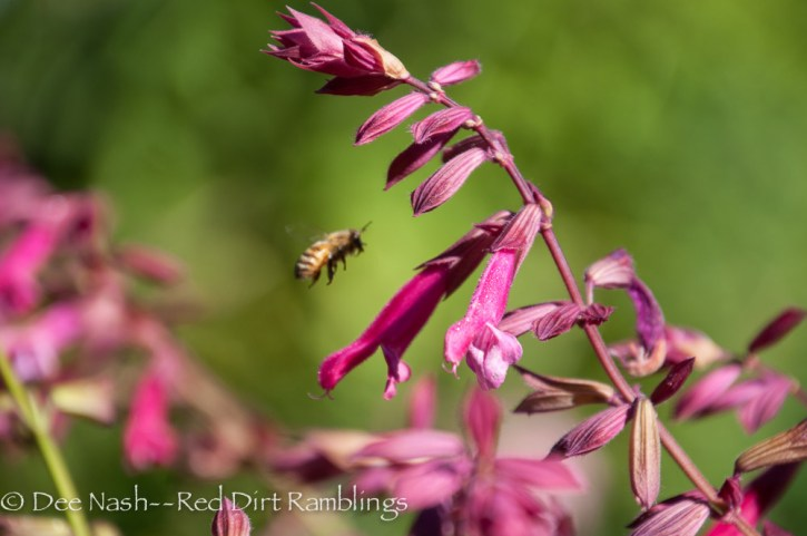 Honeybee flying to 'Wendy's Wish' salvia, one of my favorite plants.