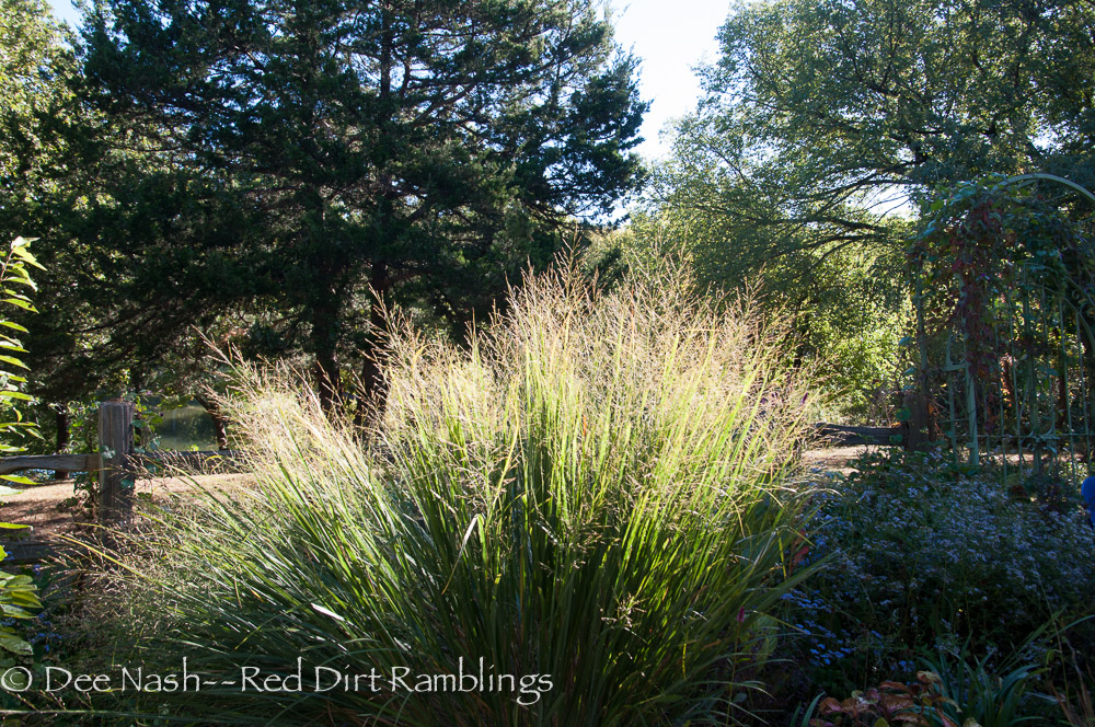 Panicum 'Northwind' Garden Bloggers Bloom Day